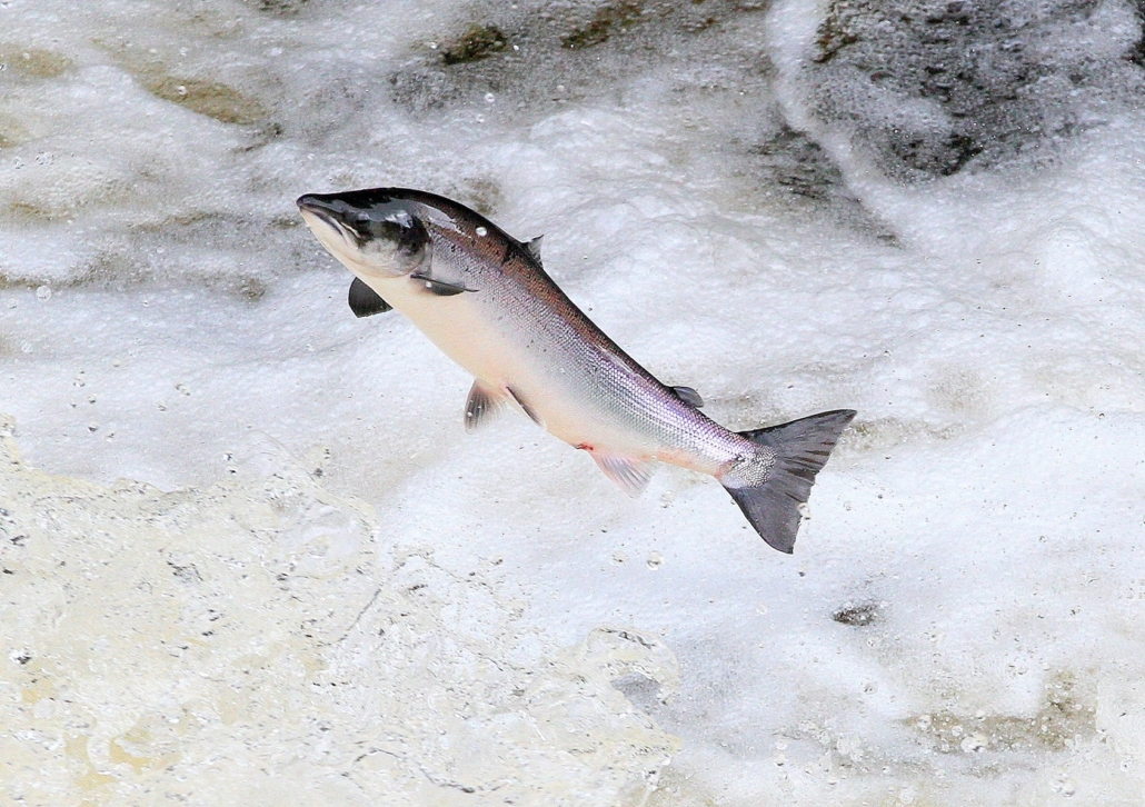 Image of Salmon Leaping